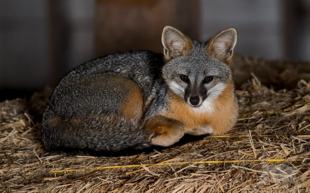 Resting Grey Fox