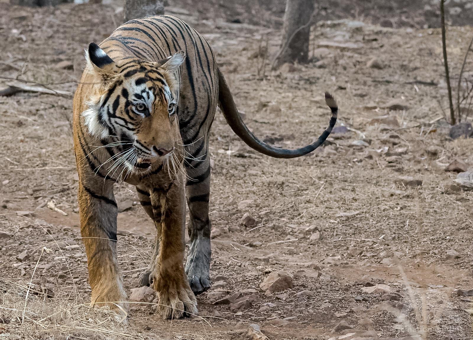 wildIndia9502_DxO