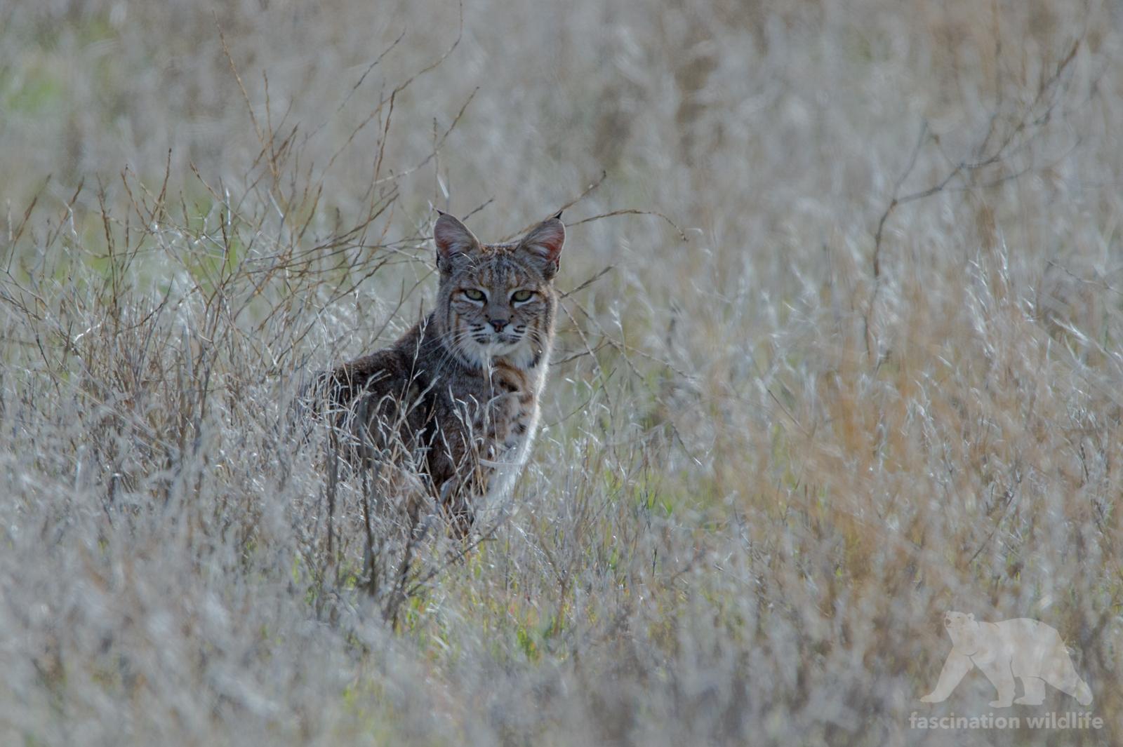 bobcat3349