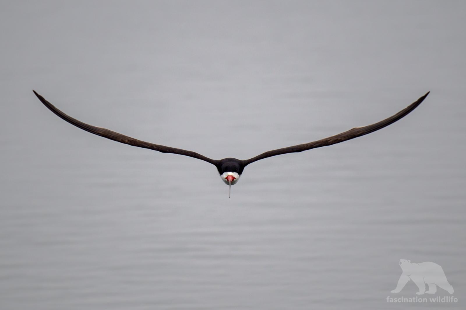 calbirds1333