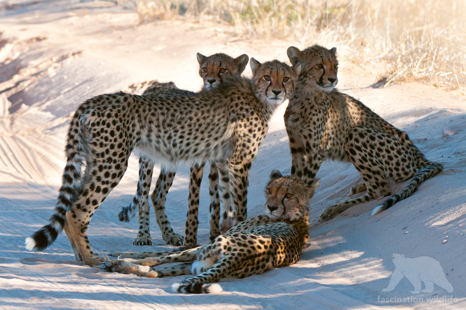 four cheetah cubs