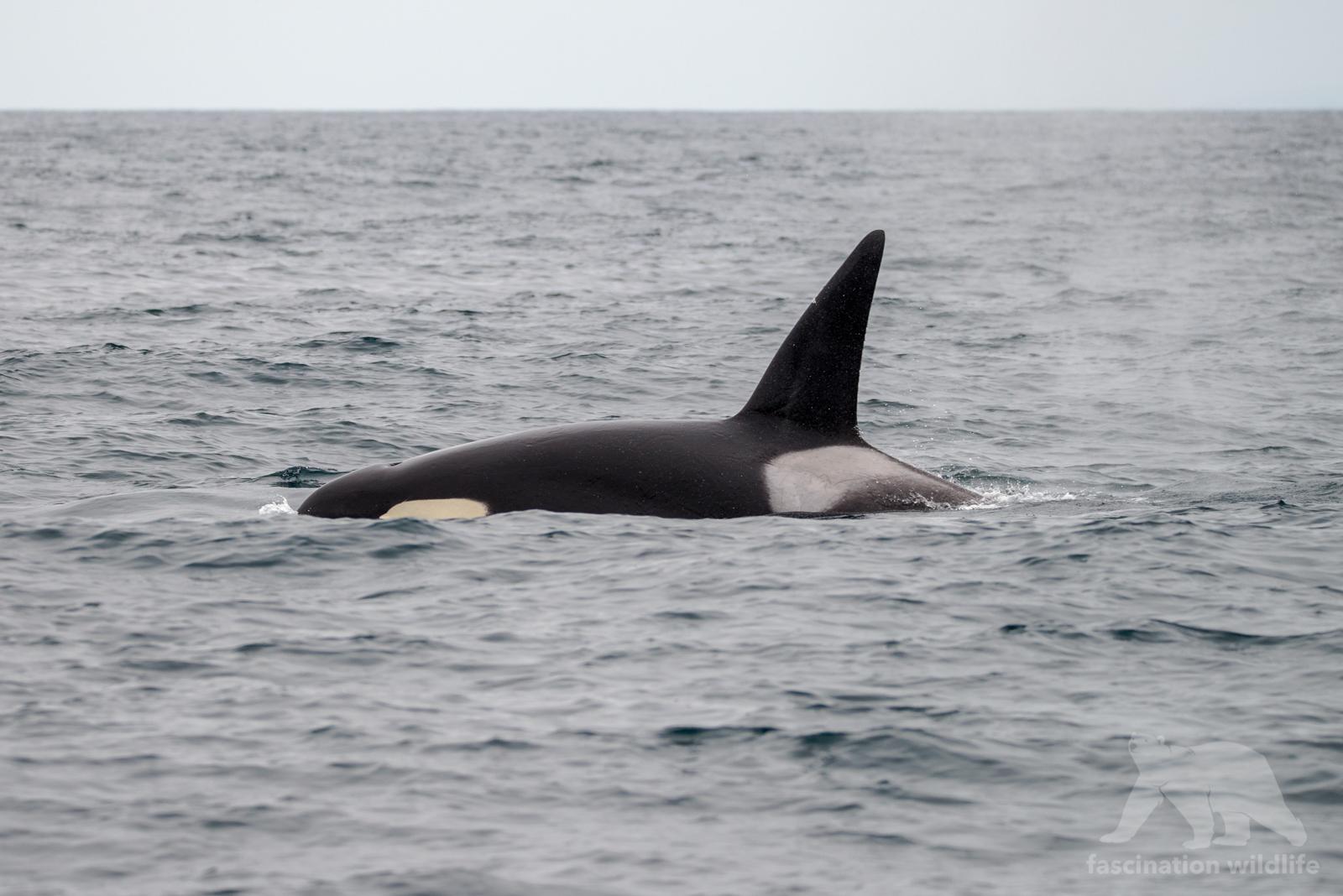 orca6567