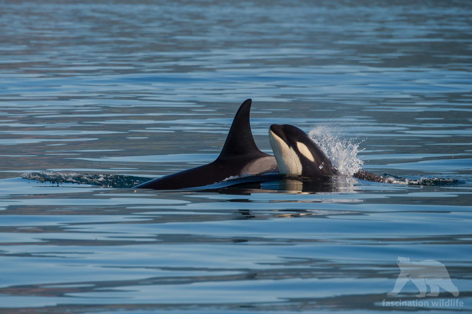 orca9766