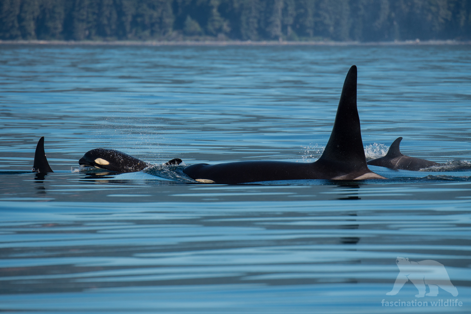 orca9941