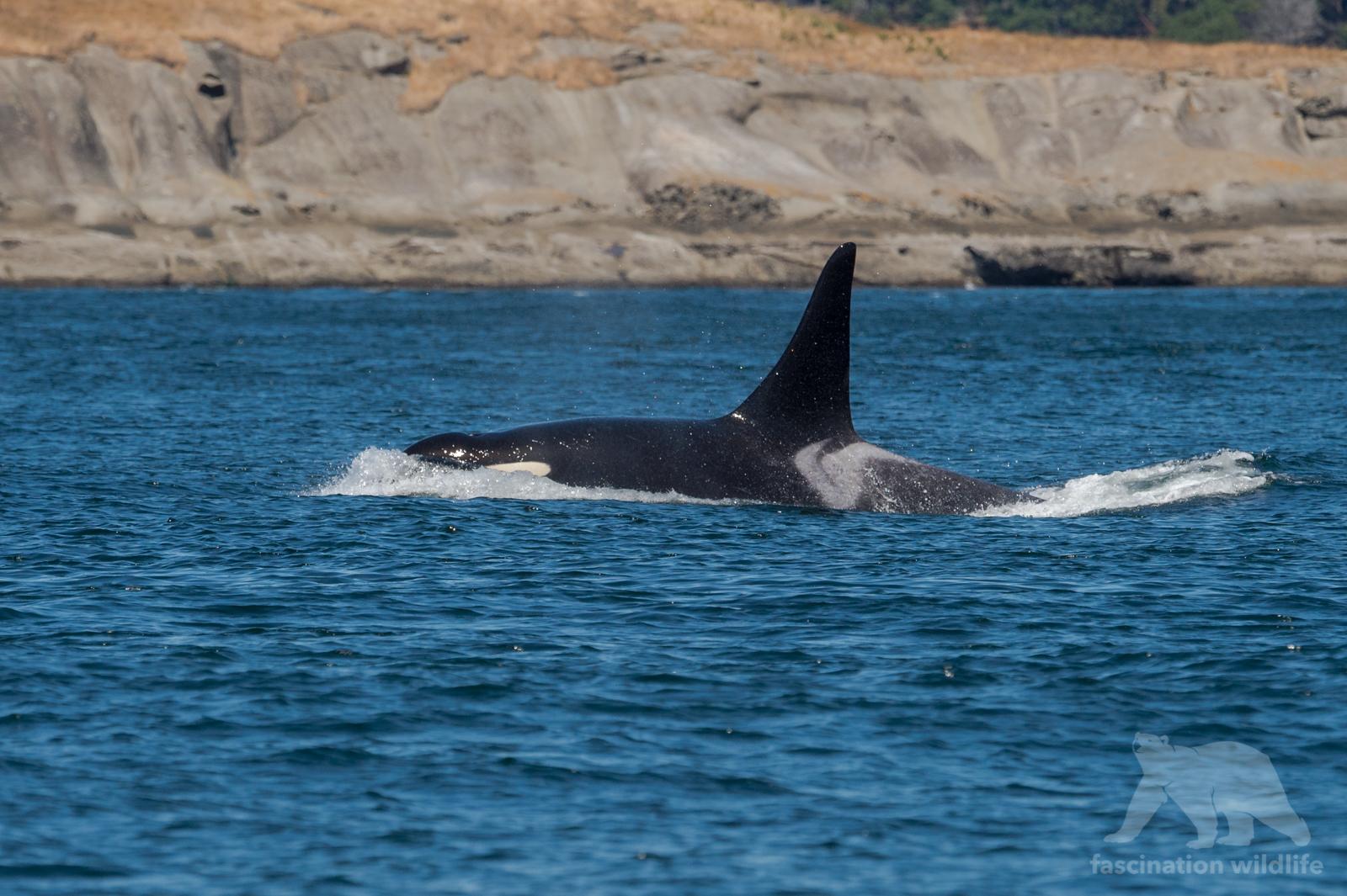 orca_3717