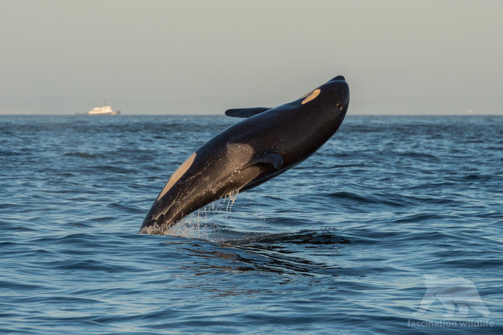 orca_4132
