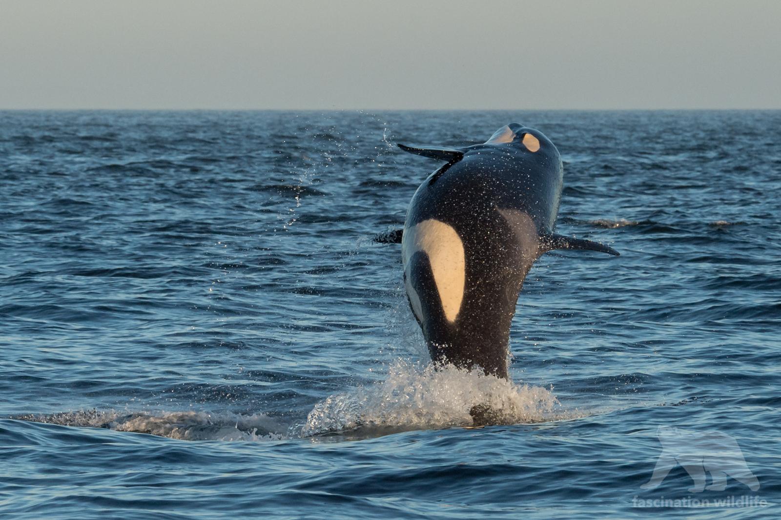 orca_4141