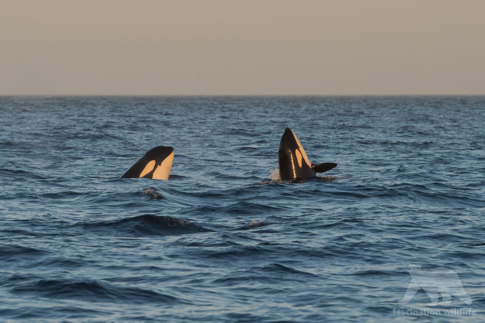 orca_4220