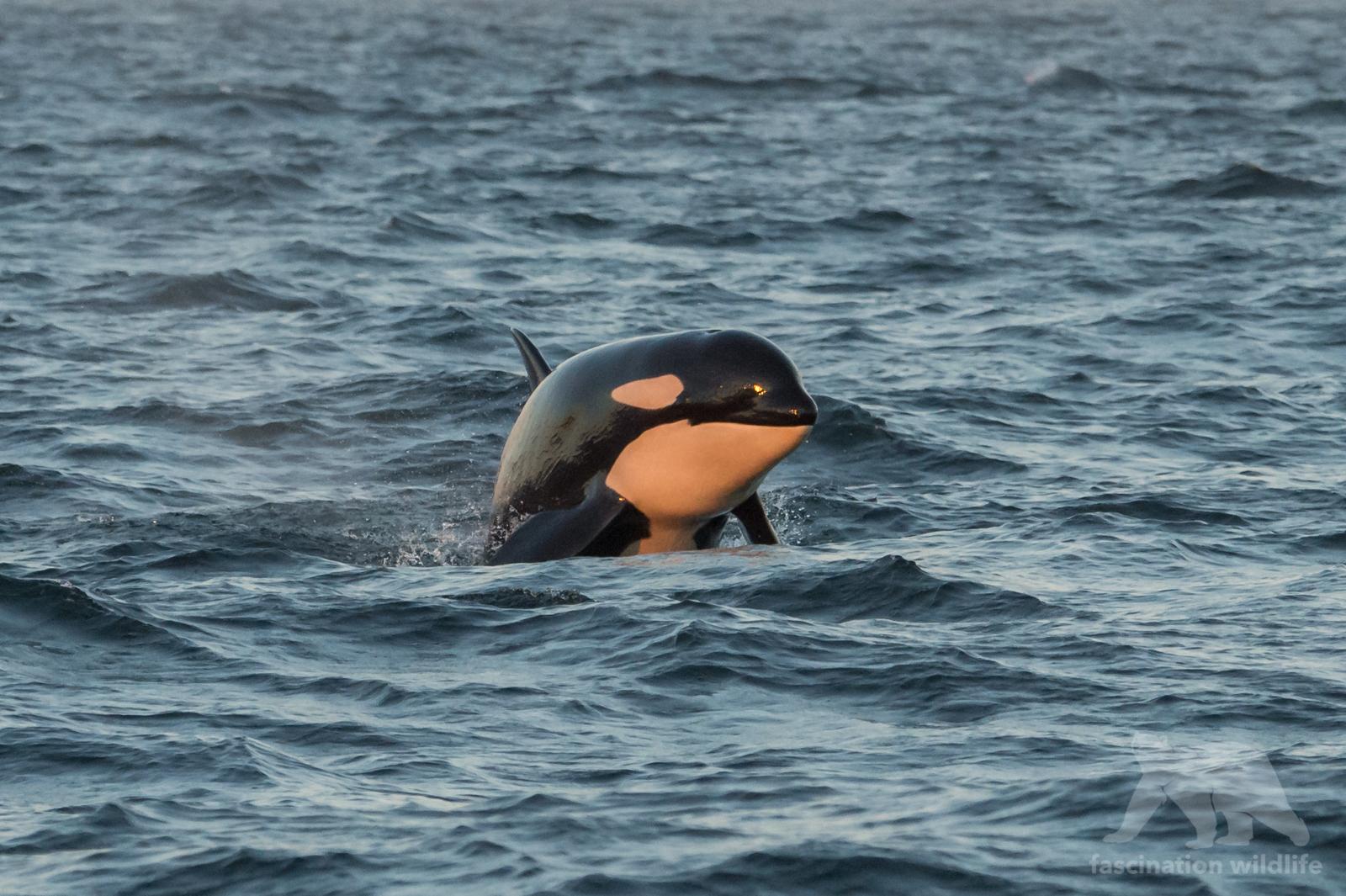 orca_4328
