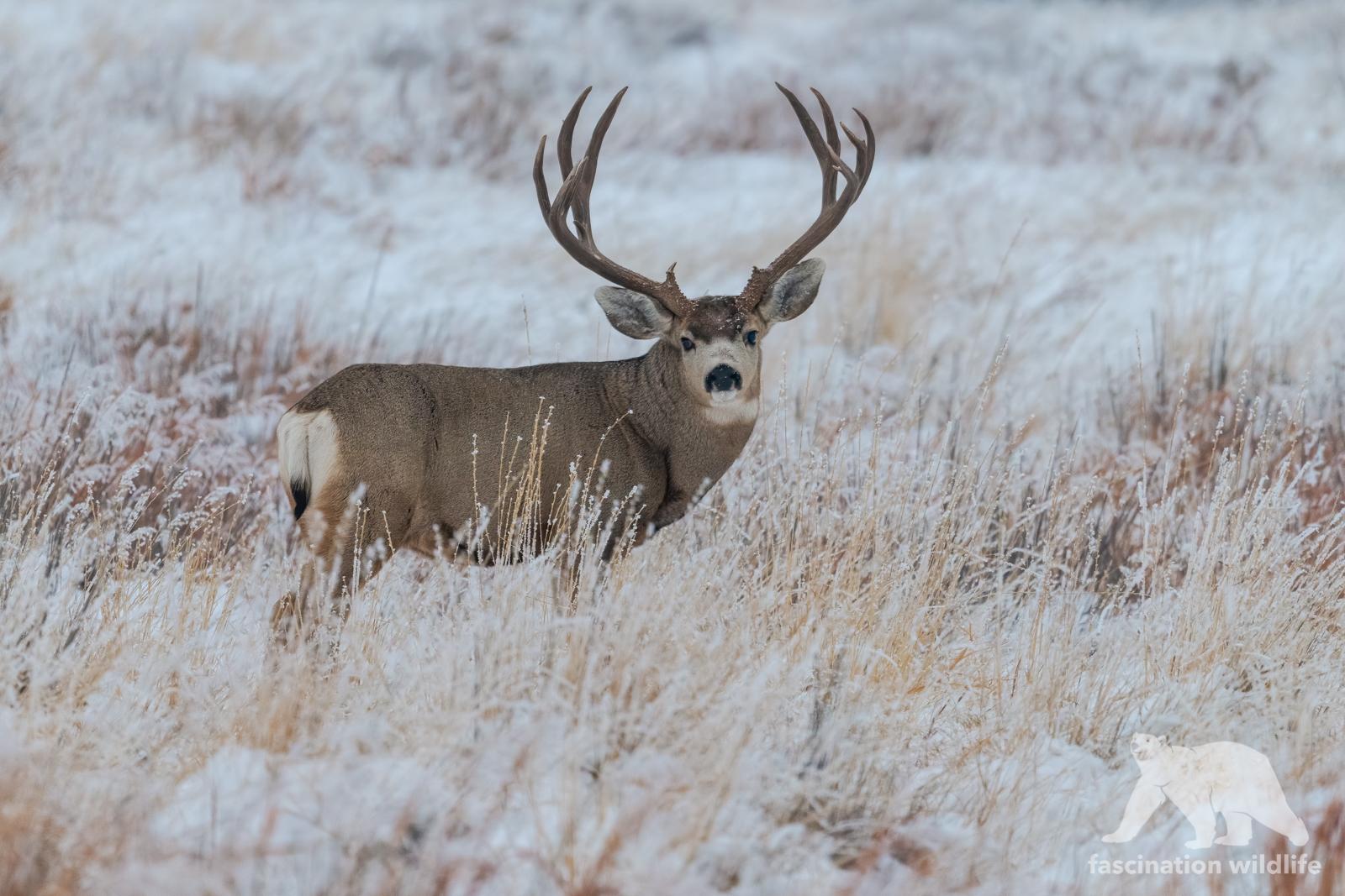 mule deer3