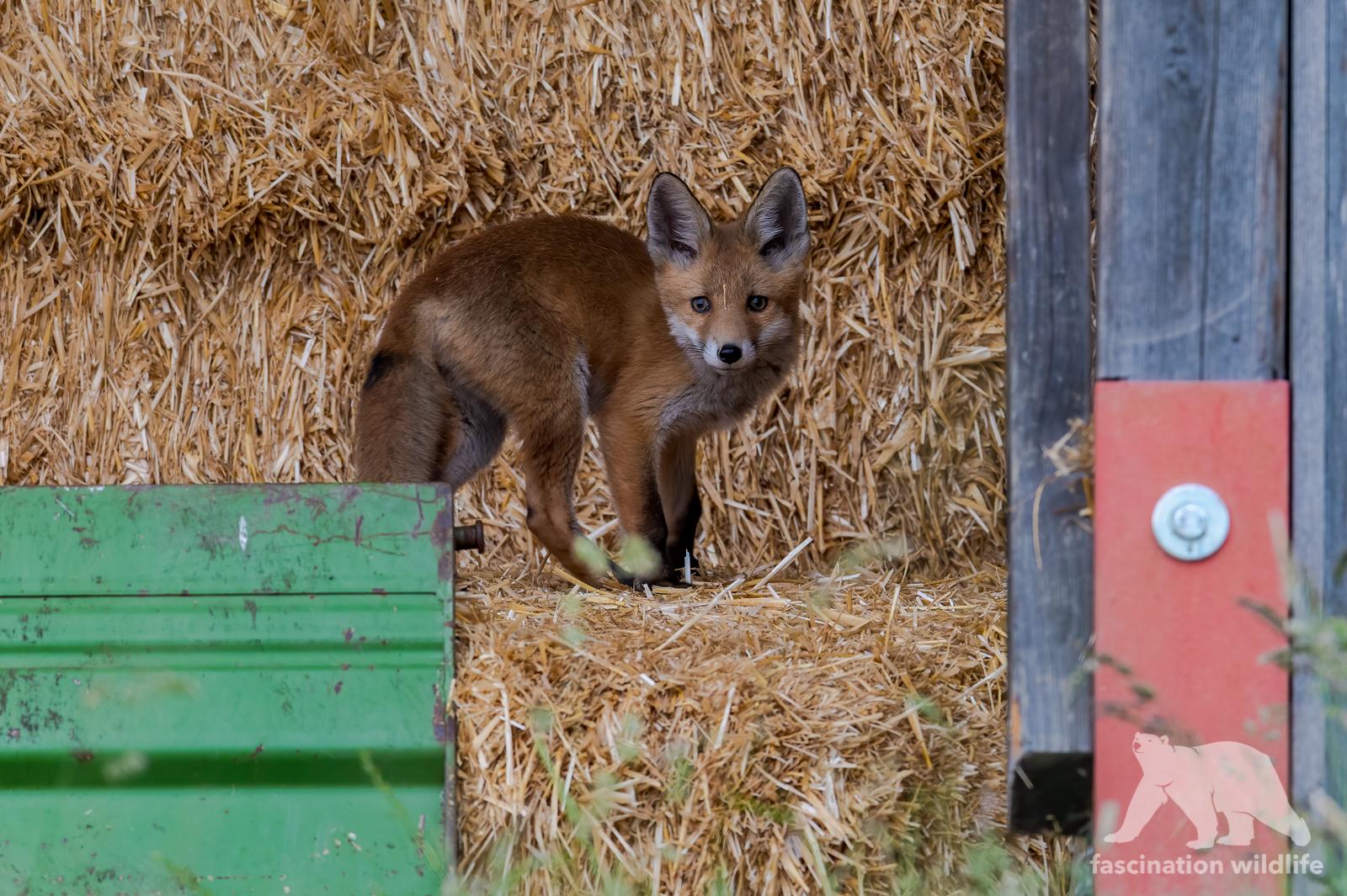 red fox hw3-2