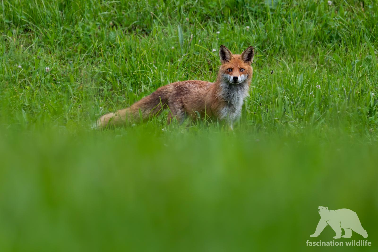 red fox11