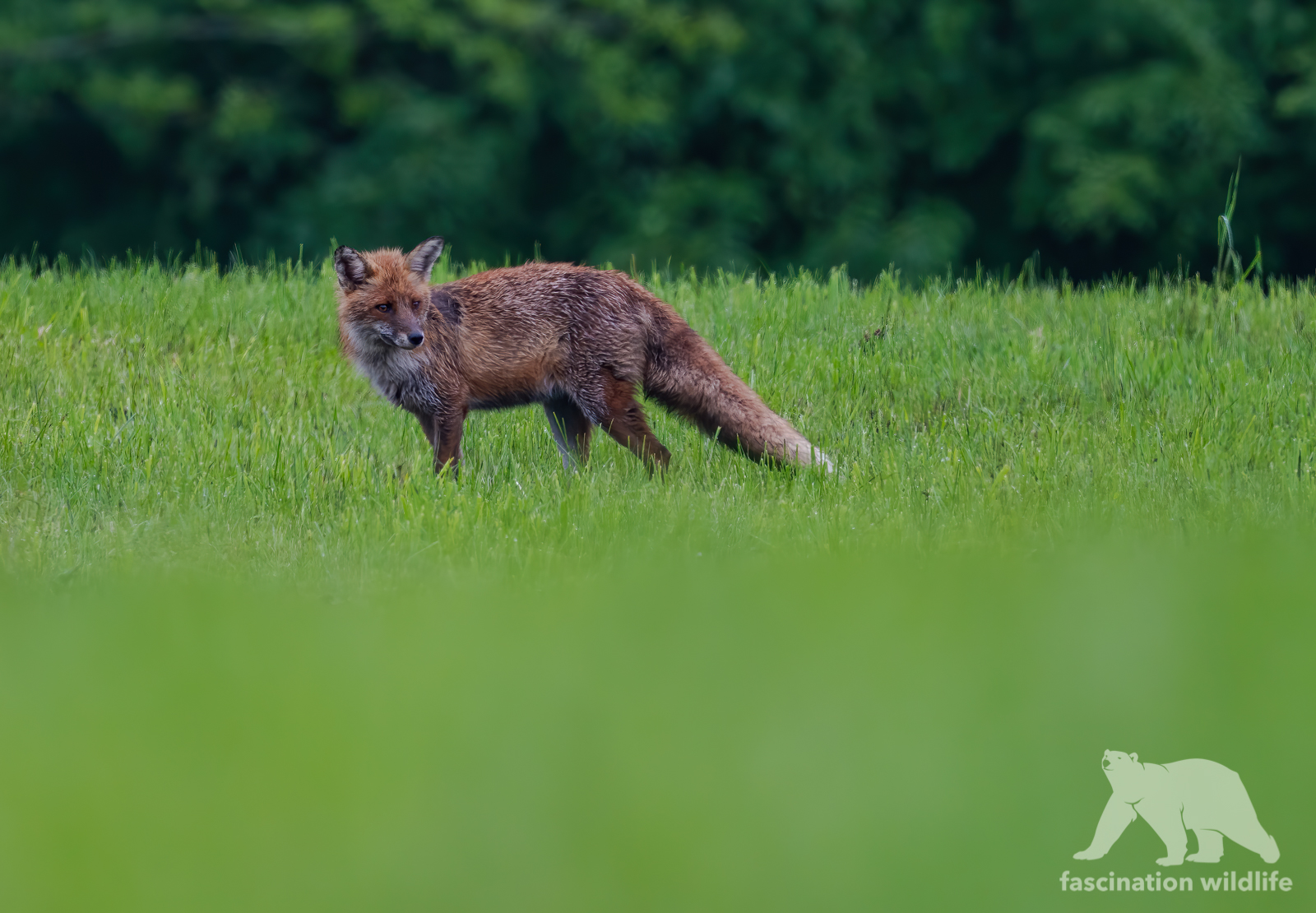 red fox2-gigapixel-scale-4x
