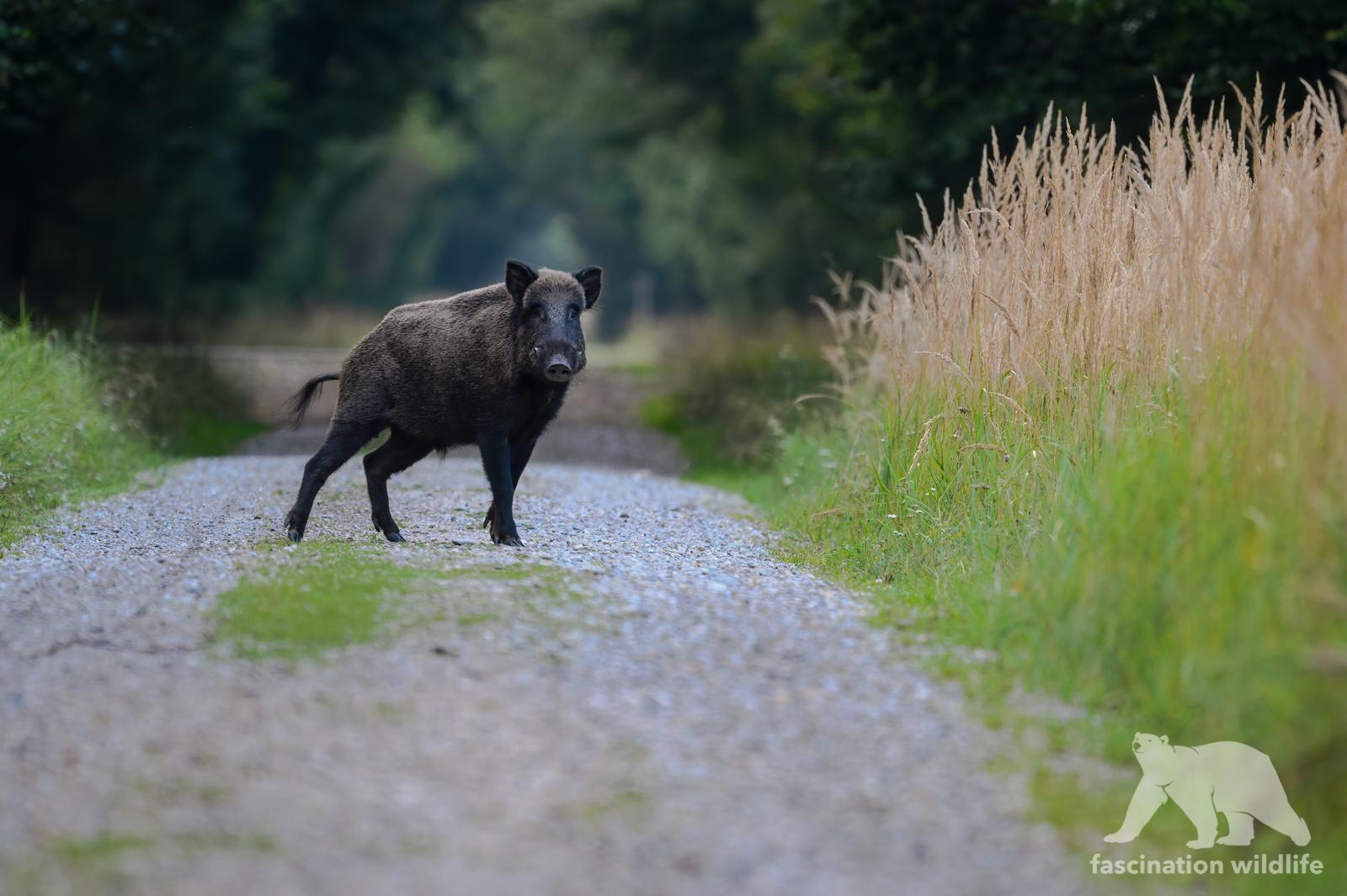 wild boar 11
