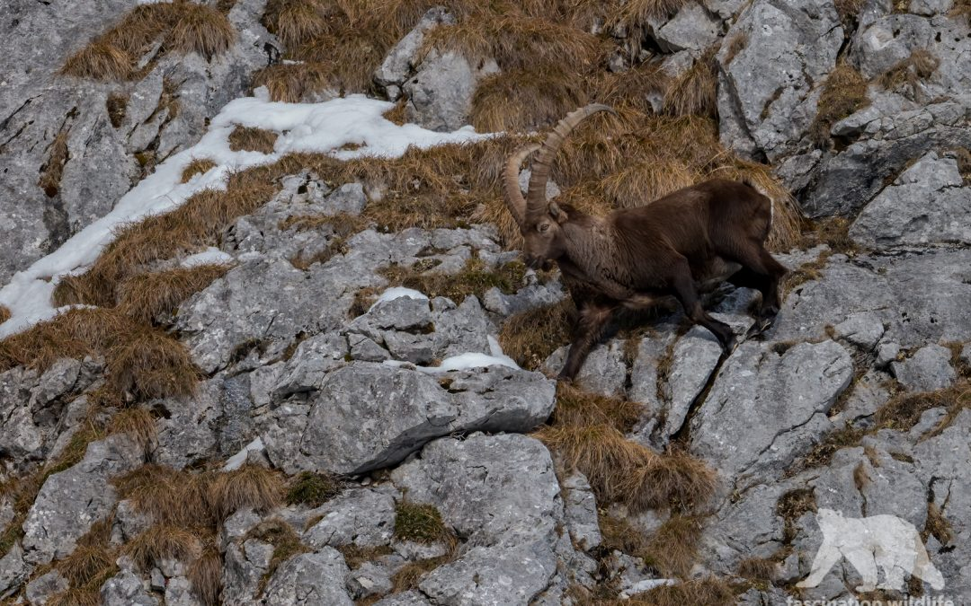 Alpine ibex in the snow
