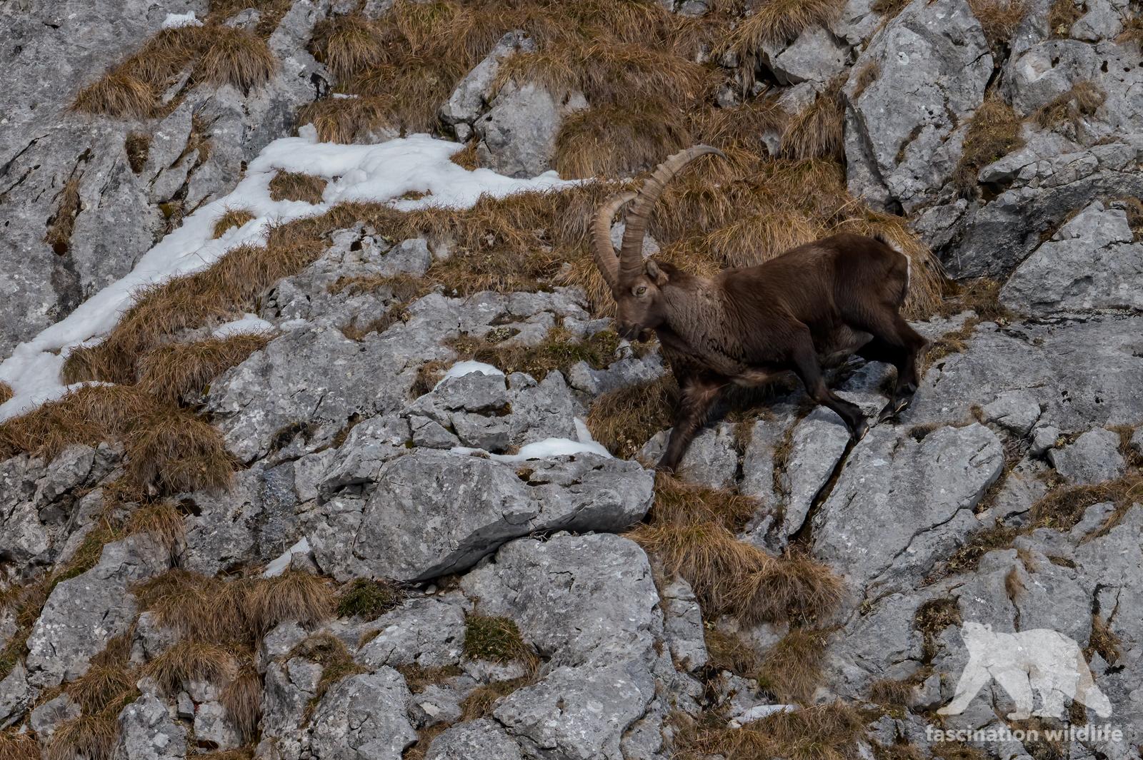 Alpine ibex in the snow